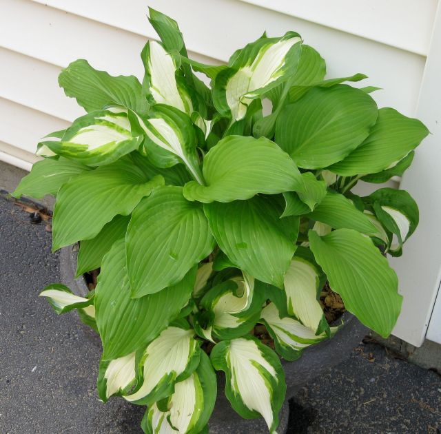 Hosta plantings