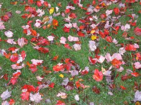 Fallen maple leaves that will become garden compost to complete the gardening circle of life