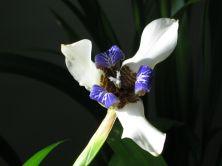 Indoor lily