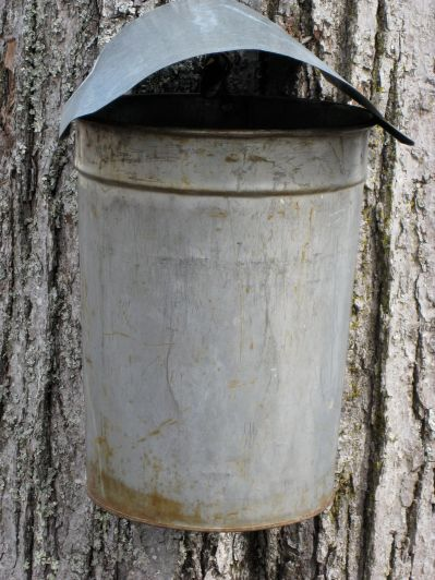 Collecting sap for Maple Sugar