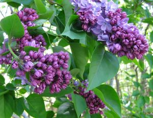 May - Lilacs in bloom