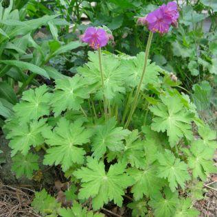 Cambridge Cranesbill Geranium