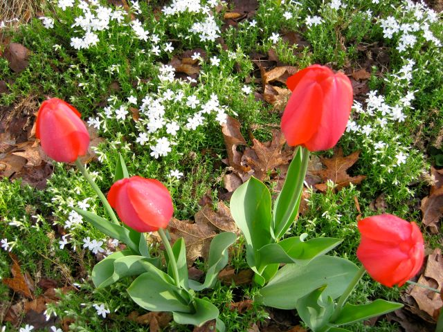 Tulips with creeping Phlox