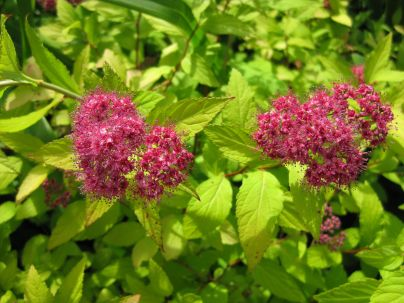 Princess Spirea