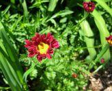 Red flower ?