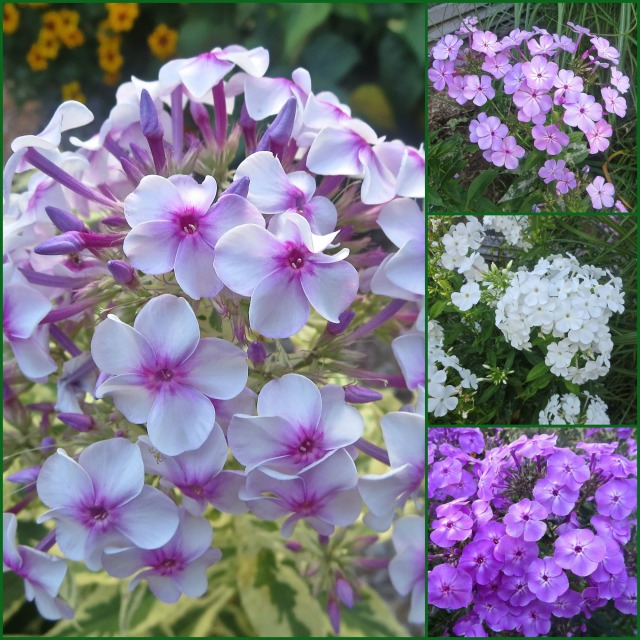 Phlox Collage