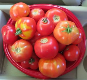 Tomatoes taken to the local senior center :-)