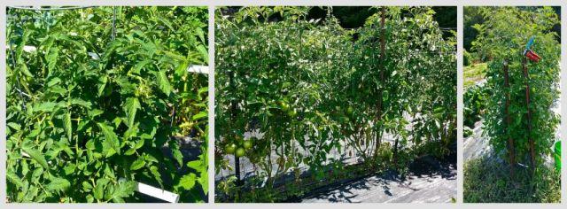 TomatoCollage