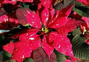 PoinsettiaGift