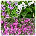 Violets Phlox